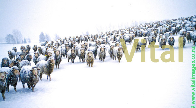Merino Sheep in Snowstorm  with Fleeces Covered in Frozen Snow Advancing as a Mob