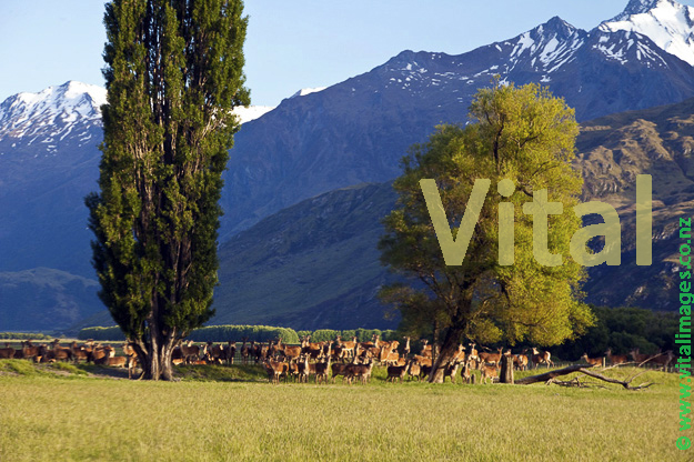 Red Deer Herd on Cattle Flat Station Matukituki Valley Central Otago New Zealand