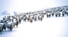 Merino_Sheep_in_Snowstorm_with_Fleeces_Covered_in_Frozen_Snow_Advancing_as_Mob