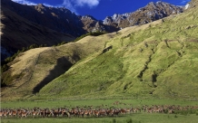 Red_Deer_Herd_on_Cattle_Flat_Station_Matukituki_Valley_Central_Otago_New_Zealand