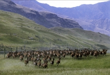 Herding_Red_Deer_Stags_on_Cattle_Flat_Station_Deer_Farm_near_Wanaka_Central_Otago_New_Zealand