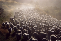 Merino_sheep_being_driven_along_dusty_New_Zealand_gravel_road_using_huntaway_sheep_dog