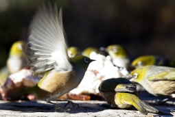 Flock_of_Silvereyes_Waxeyes_interacting_feeding_on_animal_fat_in_Central_Otago_winter_Zosterops_lateralis_Passerine_Tauhou_little_stranger