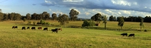 Photo_of_Beef_Cattle_grazing_in_the_Hunter_Valley_near_Cessnock_NSW_Australia