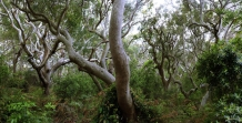 Eucalypt_Forest_Interior_Hunter_Valley_NSW_Australia