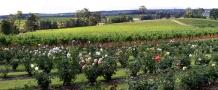 Roses_in_Bloom_at_Tyrrells_Vineyard_Hunter_Valley