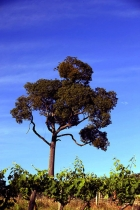 Old_Man_Gum_tree_and_grapevines_Hunter_Valley_NSW_Australia