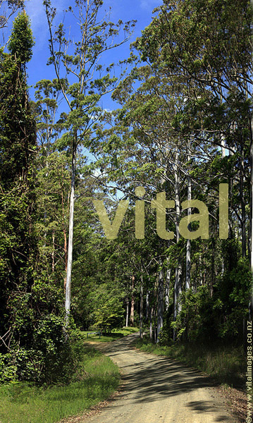 Eucalyptus Forest Interior near Barrington Tops National Park Chisester Forest Park Hunter Valley NSW Australia