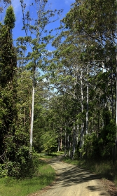 Eucalyptus_Forest_Interior_near_Barrington_Tops_National_Park_Chisester_Forest_Park_Hunter_Valley_NSW_Australia