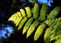 Photo_of_tree_fern_frond_Dicksonia_squarosa_in_profile_from_below_towards_blue_sky_in_forest_setting