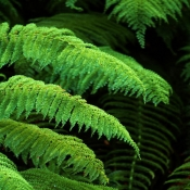 Photo_of_Prince_of_Wales_Feather_fern_Leptopteris_superba_Heruheru_in_forest_setting_near_the_Blue_Pools_Makarora_valley_Haast_highway