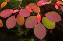 Colourful_red_and_green_American_Smoketree_foliage,_Cotinus_obovatus,during_autumn_at_Bindy_Wilsons_cottage_garden_at_Dublin_Bay_Lake_Wanaka