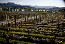 New_Spring_Growth_on_Pinot_Noir_Grapevines_at_Rippon_Vineyard_Lake_Wanaka_Central_Otago_New_Zealand