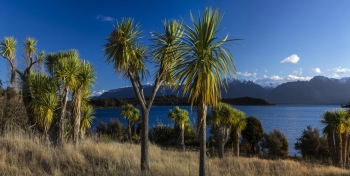 Ti_Kouka_Cabbage_Trees_at_Te_Anau_Downs_on_the_Milford_Sound_Road_