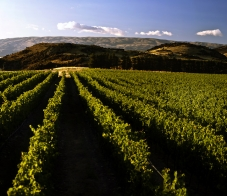 Rows_of_Pinot_Noir_Grapes_at_the_Archangel_vineyard_near_Queensberry,_Central_Otago_Dunstan_Range_in_the_distance