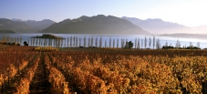 Intense_golden_colours_during_Autumn_at_Rippon_Vineyard_Lake_Wanaka_New_Zealand