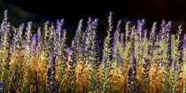 Purple_wild_Vipers_Bugloss_flowers_in_field_in_Central_Otago