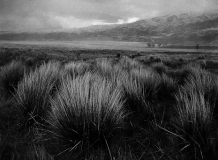 Red_Tussock_Chionochloa_rubra_blowing_in_the_windnear_the_old_Nevis_Cemetery_Nevis_Valley_Central_Otago
