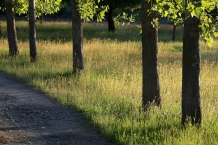 Row_of_Polar_tree_trunks_in_gravel_driveway_surrounded_by_seeding_grasses