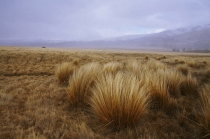 Red_Tussock_in_the_Nevis_Vvalley