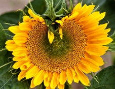 Photo_of_Sunflower_Up_Close_Showing_Spiral_patterns_predicted_by_Fibonacci_Mathematical_Number_Sets