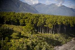 Primordial_Kahikatea_Forest_adjacent_to_the_Coastline_at_Bruce_Bay_Jacobs_River_South_Westland